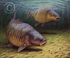 Картинки по запросу carp drawing