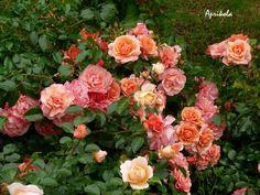 'Aprikola ' Rose Photo, HMF member states shade tolerance is good, excellent heat tolerance, excellent bloom and repeat. Kordes rose, multi awards... 2-3', bloom 3.5, good for pots..