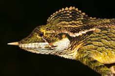 Photo of a horned lizard called Ceratophora stoddartii in Sri Lanka.