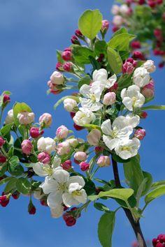 Λευκά λουλούδια σε μαύρο δέντρο υποκατάστημα Σύμφωνα με το Sky κατά τη διάρκεια της ημέρας
