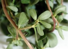 Purslane, although considered a weed in the States, it may be eaten as a leaf vegetable. It has a slightly sour and salty taste and is eaten throughout much of Europe, the middle east, Asia, and Mexico.