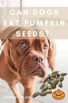 Yes, dogs can eat pumpkin seeds (or pepitas), and they are highly beneficial for your dog. Pumpkin is a superfood for your dog. Before you give your dog pumpkin seeds, make sure that they are prepared. We recommend peeling and roasting your seeds. Pumpkin seeds go moldy quickly when raw. Can my dog eat pumpkin? Pumpkin is excellent for dogs! It is fantastic for dogs who have any tummy issues because it helps to calm their upset stomachs. Pumpkin is also full of fiber, which allows dogs to… Can Dogs Eat Pumpkin, Pumpkin Pumpkin, Dog Eating, Superfood, Bordeaux, Your Dog, Roast, Seeds, Fiber
