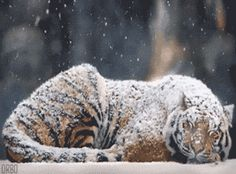 cute-gif-tiger-sleeping-snow