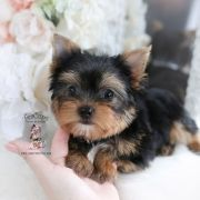 Toy or Teacup Yorkies for sale   Teacup Puppies & Boutique Teacup Yorkie For Sale, Yorkie Puppy For Sale, Bulldog Puppies For Sale, French Bulldog Puppies, Toy Yorkie, Biewer Yorkie, Yorkies, Wire Fox Terrier Puppies, Toy Yorkshire Terrier
