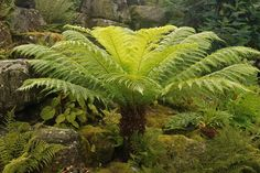 Tasmanian Tree Fern (Dicksonia antarctica), to 15 ft., part shade, graceful 3-6 ft fronds on a thick trunk, needs consistent moisture.  These hardy, slow growing tree ferns are from the Southern Hemisphere. Easy to transplant and establish.  Native to southeastern Australia, Tasmania. Hardiest of tree ferns; well-established plants tolerate 20°F/-7°C. Thick, red-brown, fuzzy trunk grows slowly to 15 ft. Many arching, 3- to 6-ft. fronds grow from top of trunk; mature fronds are more finely…