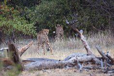Cheetah on the move!