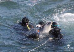 Taiji: Bottlenose Dolphins, December 3rd 2013. 75-80 Bottlenose dolphins in The Cove; 10 were taken captive. https://www.facebook.com/media/set/?set=a.262711723879065.1073741860.109164785900427&type=3 #CoveGuardians #tweet4taiji #gaitasu #SeaShepherd #defendconserveprotect