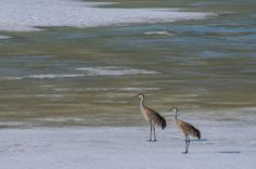 Sandhill Crane pair - Grand Teton National Park