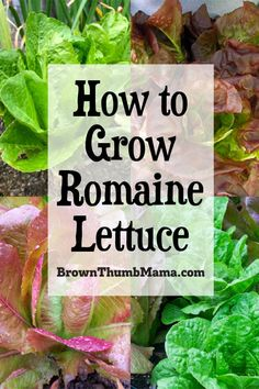 Potager Garden If romaine lettuce recalls make you nervous--take charge! You can grow your own romaine lettuce for crisp, fresh, delicious salads. Here's everything you need to know to grow romaine lettuce in your garden. Romaine Lettuce Growing, Lettuce Seeds, Container Gardening, Indoor Gardening, Organic Vegetables, Growing Vegetables, Regrow Vegetables, Planting Vegetables, Gardens