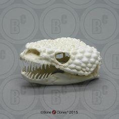 Gila Monster Skull - Bone Clones, Inc. - Osteological Reproductions