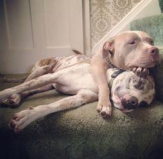 Pibble pile #pitbull #dontbullymybreed #shelterdog