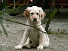 english setter puppy - Google Search