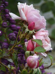 Rose 'Albertine' Bred in France 1921. Hybrid Wichurana. Large flowering climbing Rambler. Salmon pink, mild to strong fragrance.