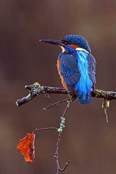 Kingfisher - Alcedo atthis | Flickr - Photo Sharing!