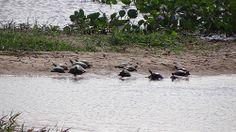 La vida del llano de Venezuela. Tortugas asoleandose. La ruta de Gallegos es un emporio de vida y un jardin maravilloso.