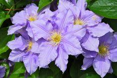El clematis # El Clematis también llamado clematideses una planta trepadora de muy rápido crecimiento que crece en prácticamente todas las regiones templadas del mundo. Es muy agradecida y resistente, alegrando el jardín con sus hermosas flores durante ... »