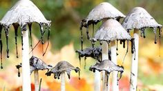 Coprinopsis picacea.2 Magpie Inky Cap