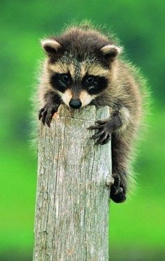 Reminds me of the three raccoon babies we had under the eaves at Fort Lewis.