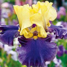 Items similar to Reblooming Bearded German Iris Jurassic Park 1 Rhizome on Etsy Iris Flowers, Bulb Flowers, Bulbous Plants, Spring Hill Nursery, Sun Perennials, Most Beautiful Flowers, Beautiful Things, Bearded Iris, Jurassic Park