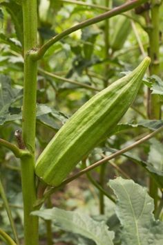 Okra Plant, How to Grow Okra, Planting Guide