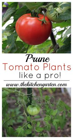 Grow Organic Tomatoes how to prune tomato plants - Get the most out of your tomato plants this season with proper pruning. Help your tomato plant focus on growing large, juicy tomatoes! Growing Tomatoes In Containers, Growing Vegetables, Grow Tomatoes, Baby Tomatoes, Cherry Tomatoes, Garden Tomatoes, Planting Vegetables, Hydroponic Gardening, Container Gardening