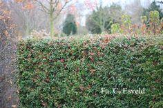 berberis julianae - wintergroene varieteit rommeltje