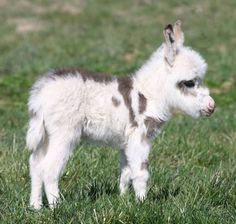 Here is a precious little miniature donkey foal, photographed while playing outside in the sun at his farm. How beautiful!
