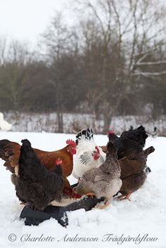 Snow chickens...They can handle 17 degrees...but 117, that's difficult for chickens