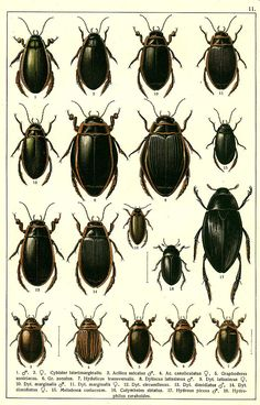 """G.G. Yakobson (1905-1915) - """"Beetles of Russia"""": table 11"""