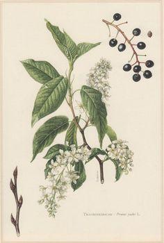 Image result for prunus virginiana botanic illustration