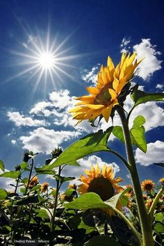 Out of several beautiful flowers, today we have picked some beautiful sunflower pictures for you. This flower is named as sunflower because it looks like sun… Sunny Pictures, Nature Pictures, Beautiful Pictures, Sunshine Pictures, Sunflower Photography, Nature Photography, Photography Backdrops, Blue Sky Photography, Photography Books