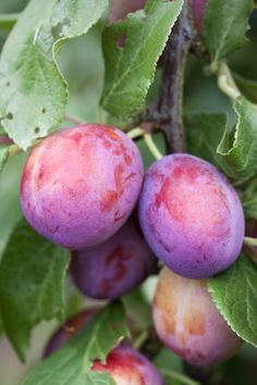 Plums.  This is what my plums on the tree look like!
