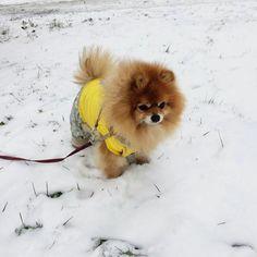 Sweety #Pomeranian