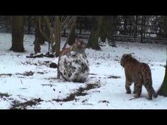 Tigers vs Snowmen! - YouTube