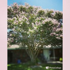 Our huge #oldsoul #crepemyrtle #pink #gardening #garden #flowerporn #flower #flowerstagram #firstblooms