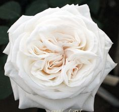 white garden roses in the bridesmaid bouquets:) lovely!