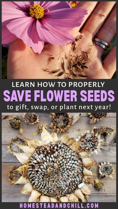 Saving flower seeds is fun, rewarding, and easy to do. Who doesn't love free seeds? Come learn how to seed-save from annual flowers like zinnia, calendula, sunflowers and more - to keep the biggest and most beautiful specimens in your garden to gift, swap, or plant next year!  #seedsaving #saveseeds #seeds #flowers #flowergarden #gardening #gardentips Garden Seeds, Planting Seeds, Herbs Garden, Fruit Garden, Garden Planters, Cut Flower Garden, Flower Farm, Dried Sunflowers, Planting Sunflowers