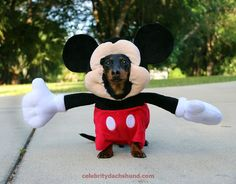 Crusoe the Celebrity Dachshund dresses up as Mickey Mouse to have some fun! Don't miss Crusoe's new book now available on pre-order here: http://celebritydac...