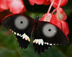 -Rare Jagannath Butterfly