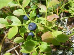 When Do You Plant Blueberry Bushes? When Do You Plant Blueberry Bushes? Planting Blueberry Bushes, Blueberry Plant, Organic Gardening, Gardening Tips, Growing Blueberries, Strawberry Plants, Growing Succulents, Beautiful Fruits, Medicinal Herbs