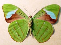 The Hewitson's Olivewing (Nessaea hewitsonii) is a species of butterfly of the Nymphalidae family. It is common in a broad range of the Amazon basin including the eastern slopes of the Andes mountain range. It is found in high evergreen tropical forest, semi-deciduous tropical forest, and riverine forest.