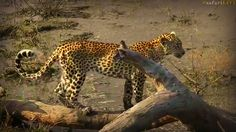 Our beautiful and Hungry Xongile on a terrapin hunt #SafariLive 4-10-17