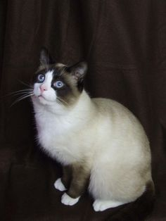 Dorothy - white cat, bright(er) pink nose, dark ear markings to represent brunette pigtails, and give it a ruffled blue gingham collar. Pet Urine, Pet Odors, Siamese Cats, Cats And Kittens, American Wirehair, Snowshoe Cat, Rare Cats, American Shorthair, Grumpy Cat