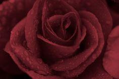 Dusty Rose - Flowers Wallpaper ID 1093463 - Desktop Nexus Nature