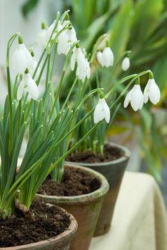 In februari kun je bloeiende #sneeuwklokjes in pot kopen. Leuk voor op de tuintafel of in een mand of sierpot op het terras. Haal je ze na de bloei voorzichtig uit hun potje, dan kun je ze daarna in de tuin planten voor volgend jaar.