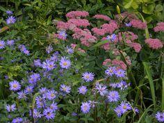 Sedum and Monch aster Garden Photos, Aster, Summer Garden, Shrubs, Summer Time, Garden Ideas, Plants, Daylight Savings Time, Shrub