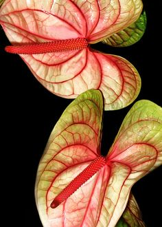 Lovely Anthuriums