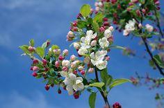 Apple Blossom, Drzewo, Oddział, Wiosna, Lato, Niebo