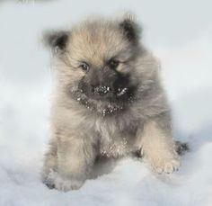 puppies / Keeshond in Central Europe
