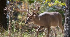 A buck rub can tell you a lot. But do you know how to read them?